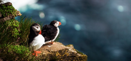Atlantic puffin also know as common puffin is a species of seabird in the auk family. Iceland, Norway, Faroe Islands, Newfoundland and Labrador in Canada are known to be large colony of this puffin. Reklamní fotografie