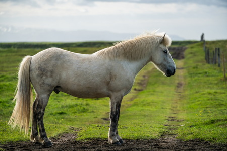 Icelandic horse in the field of scenic nature landscape of Iceland. The Icelandic horse is a breed of horse locally developed in Iceland as Icelandic law prevents horses from being imported.