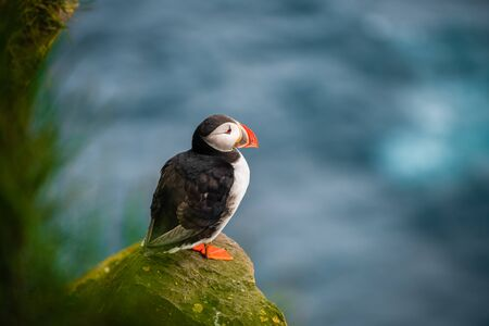 Atlantic puffin also know as common puffin is a species of seabird in the auk family. Iceland, Norway, Faroe Islands, Newfoundland and Labrador in Canada are known to be large colony of this puffin. Stock fotó