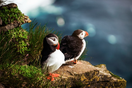 Atlantic puffin also know as common puffin is a species of seabird in the auk family. Iceland, Norway, Faroe Islands, Newfoundland and Labrador in Canada are known to be large colony of this puffin. Stok Fotoğraf - 123051027