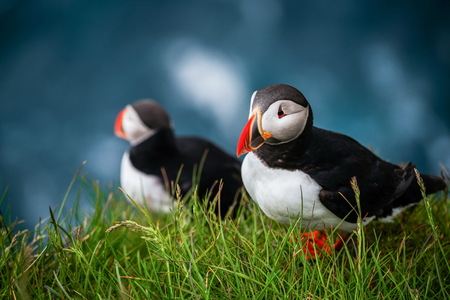 Atlantic puffin also know as common puffin is a species of seabird in the auk family. Iceland, Norway, Faroe Islands, Newfoundland and Labrador in Canada are known to be large colony of this puffin. Stok Fotoğraf - 123051137