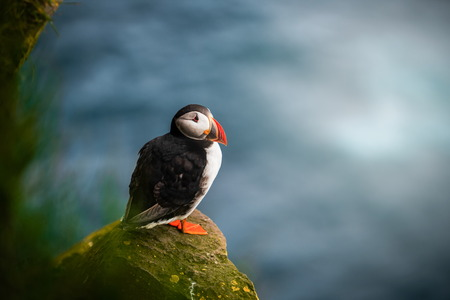 Atlantic puffin also know as common puffin is a species of seabird in the auk family. Iceland, Norway, Faroe Islands, Newfoundland and Labrador in Canada are known to be large colony of this puffin. Stok Fotoğraf - 123564376