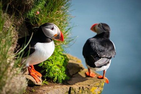 Atlantic puffin also know as common puffin is a species of seabird in the auk family. Iceland, Norway, Faroe Islands, Newfoundland and Labrador in Canada are known to be large colony of this puffin. Stok Fotoğraf - 123564733