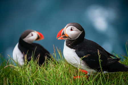 Atlantic puffin also know as common puffin is a species of seabird in the auk family. Iceland, Norway, Faroe Islands, Newfoundland and Labrador in Canada are known to be large colony of this puffin. Stok Fotoğraf - 123564734
