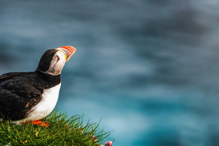 Atlantic puffin also know as common puffin is a species of seabird in the auk family. Iceland, Norway, Faroe Islands, Newfoundland and Labrador in Canada are known to be large colony of this puffin. Stok Fotoğraf - 123564495