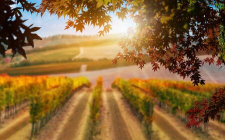 Autumn leaves with blur vineyard landscape in background. Tuscany wine.