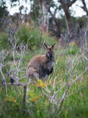 Wild wallaby hopping in bushes in Tasmania, Australia. Banco de Imagens