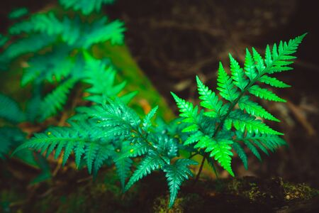 Wild fern in rainforest jungle of Tasmania, Australia. Nature close up background. Zdjęcie Seryjne