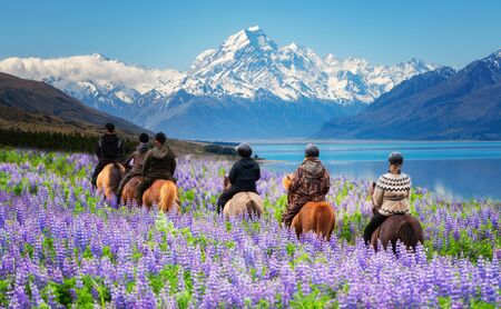Travelers ride horses in lupine flower field, overlooking the beautiful landscape of Mt Cook National Park in New Zealand. Lupins hit full bloom in December to January which is summer of New Zealand.