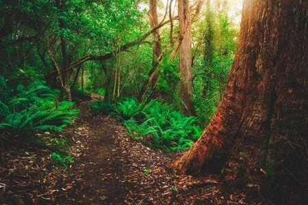 Piękna ścieżka w bujnej tropikalnej dżungli na półwyspie Tasman, Tasmania, Australia. Starożytna dżungla z epoki jurajskiej jest częścią trasy trzech przylądków, słynnego spaceru po buszu Tasmanii w Australii.