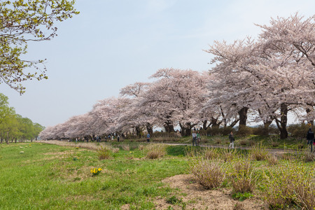 prefecture: Cherry blossoms or Sakura in Tenshochi park, Kitakami city, Iwate prefecture, Japan on April 27, 2014 Editorial