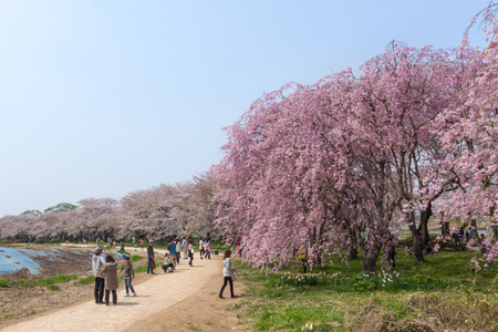 prefecture: Weeping Cherry blossoms or Sakura in Tenshochi park, Kitakami city, Iwate prefecture, Japan on April 27, 2014