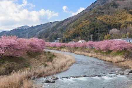 early blossoms: The Kawazu-zakura cherry blossoms, the most famous early flowering variety of cherry blossoms, at Kawazu riverside, Shizuoka, Japan. This place is the most famous Kawazu-zakura viewing spot in Japan.