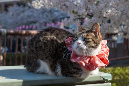 Tokyo: The cat at Meguro riverside. Meguro river is a very famous and popular Cherry-blossom viewing spot in Tokyo.