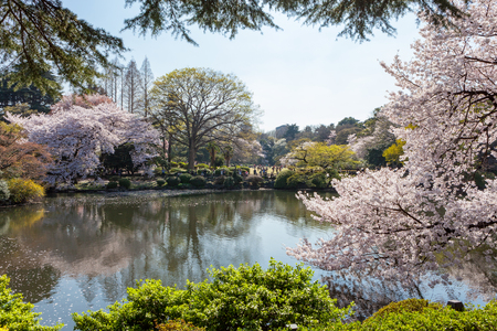 pond: The pond and Cherry-blossom trees in Shinjuku Gyoen national garden. This park is a very famous and popular Cherry-blossomSakura viewing spot in Tokyo.