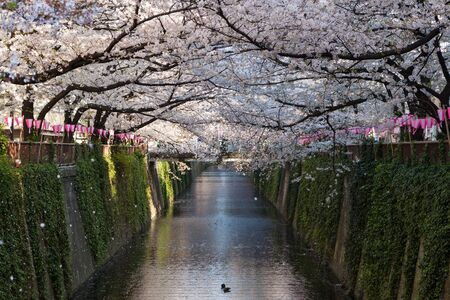 riverside trees: Cherry-blossom or Sakura trees at Meguro riverside. Meguro river is a very famous and popular Cherry-blossom viewing spot in Tokyo. Stock Photo