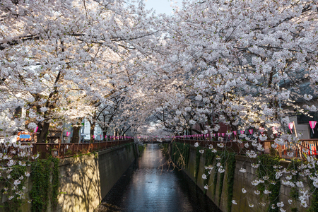 Cherry-blossom or Sakura trees at Meguro riverside. Meguro river is a very famous and popular Cherry-blossom viewing spot in Tokyo. Stock Photo