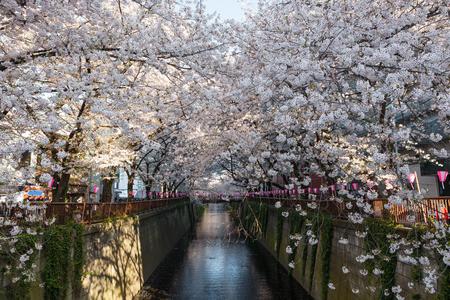 flor de sakura: La flor de cerezo o los árboles de Sakura en el Meguro Riverside. río Meguro es un lugar de observación flor de cerezo muy famoso y popular en Tokio. Foto de archivo