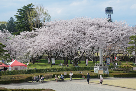 YAMAGATA , JAPAN - April 14,2016 : Visitors in Kajo castle park (Yamagata castle site park). This park is a very famous and popular Cherry-blossom (Sakura) viewing spot in Yamagata prefecture.