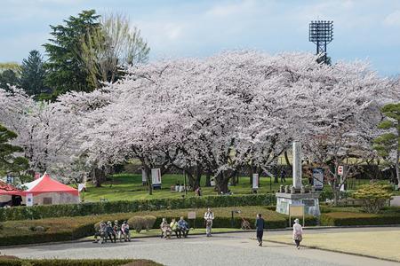 YAMAGATA , JAPAN - April 14,2016 : Visitors in Kajo castle park (Yamagata castle site park). This park is a very famous and popular Cherry-blossom (Sakura) viewing spot in Yamagata prefecture.