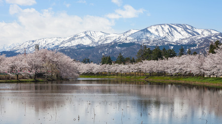 Cherry-blossom (Sakura) trees and Myoko Mountain in the distance. This spot is a very famous and popular Cherry-blossoms (Sakura) viewing spot in Niigata, Japan