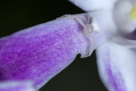 eight legged: Scary white spider on orchids, waiting for its prey Stock Photo