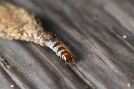 psyche: gusano con saliva y pequeñas piedras para crear un refugio seguro.
