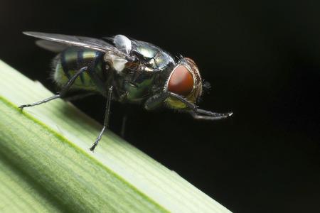 molesto: Las moscas causan enfermedades y molestos Foto de archivo