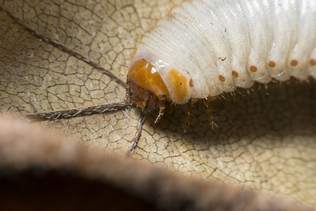repugnant: The larva of a beetle