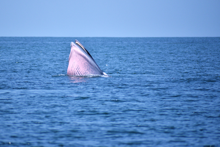 Bryde's whale in the Gulf of Thailand It is registered with the Department of Marine Resources.