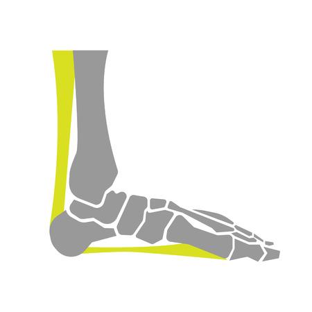 白い背景の上の足の骨のフラット アイコン。ベクトル図  イラスト・ベクター素材