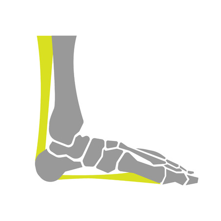 bones of the foot: Flat Icon of Foot Bones on White Background. Vector Illustration