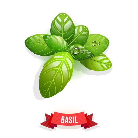 thai herb: Leaves of Genovese basil, Thai basil, lemon basil or holy basil. Isolated on white background. Herb with water drops. Vector illustration