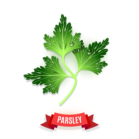 Leaves of parsey or garden parsley herb. Parsey leaves for seasoning dishes. Water drops on the leaves. Comix shaded red ribbon. Vector illustration
