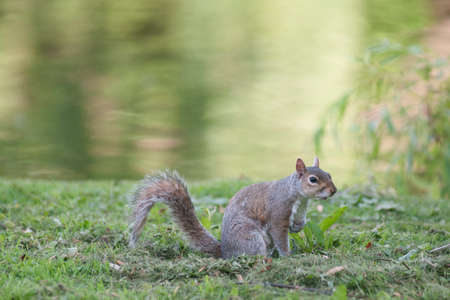james: Squirrel in St. James park Stock Photo