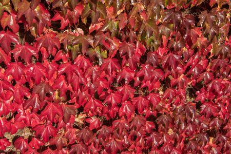 hojas parra: hojas de vid roja textura de fondo