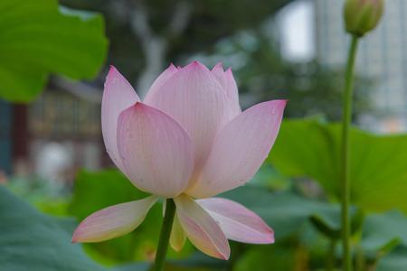Side detail of Blooming Lotus flower