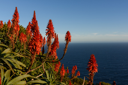 Blooming flowers near Cape Point, Cape Town, South Africa