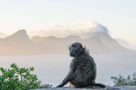 Monkey with Cape Peninsula in background during the sunset near Cape of Good Hope, Cape Town, South Africa
