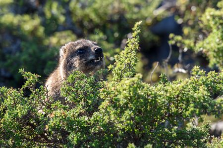Rock hyrax eating on top of Table Mountain in Cape Town, South Africa Stock Photo