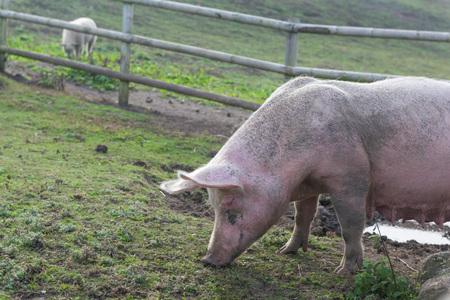 Female pig eating on bio farm Stock Photo