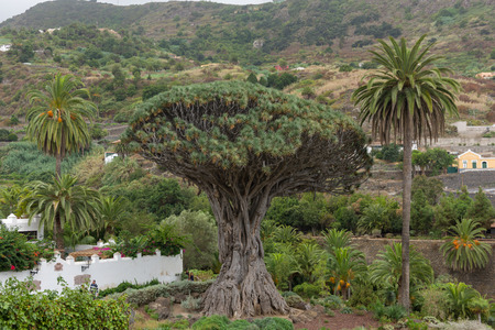 The oldest tree on Tenerife - El Drago Stock Photo