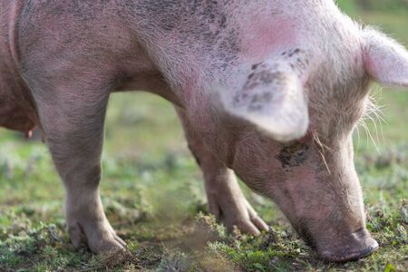 Pig grazing on ecological farm Stock Photo