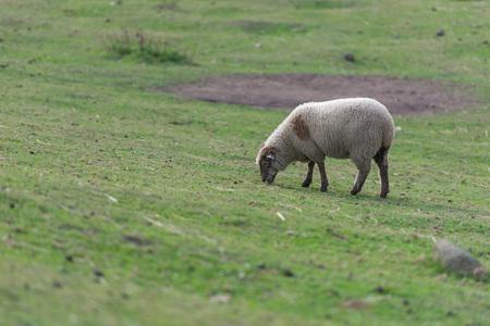 Sheep eating grass on bio farm