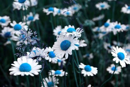 Beautiful white daisy meadow Stock Photo - 3752381