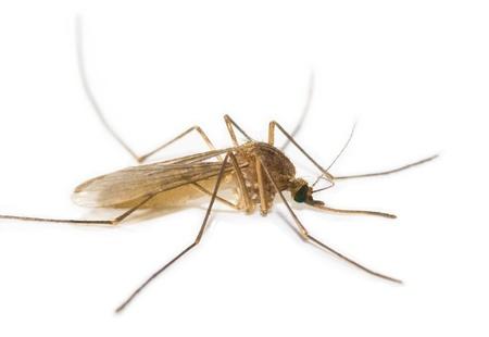 moscerino: Mosquito isolato su sfondo bianco