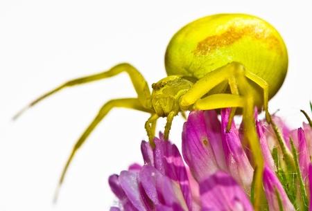 goldenrod crab spider: Goldenrod crab spider Stock Photo