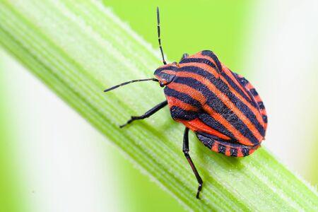 lineatum: Strip bugs (Graphosoma lineatum)