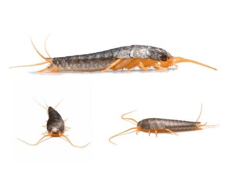Silverfish - Lepisma saccharina isolé sur blanc