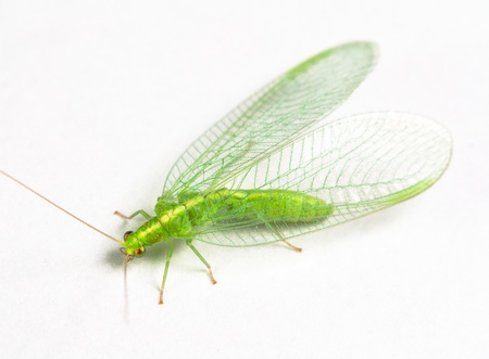 Chrysopidae green lacewing photo